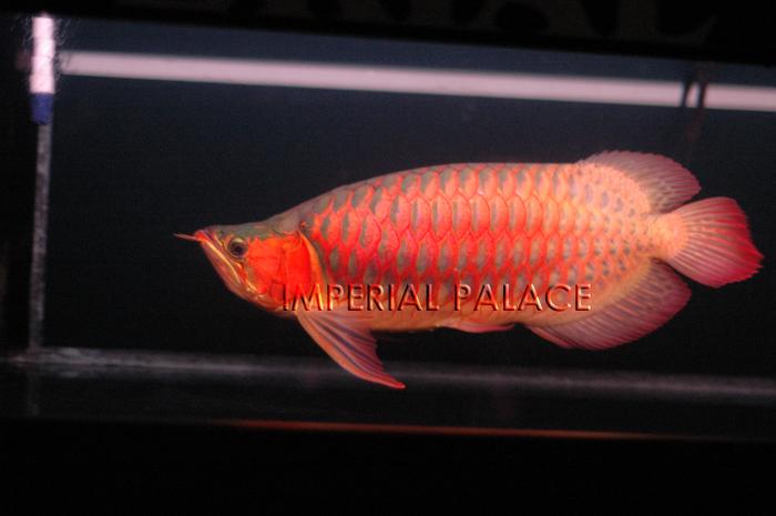 Imperial arowana for 1041 the fish
