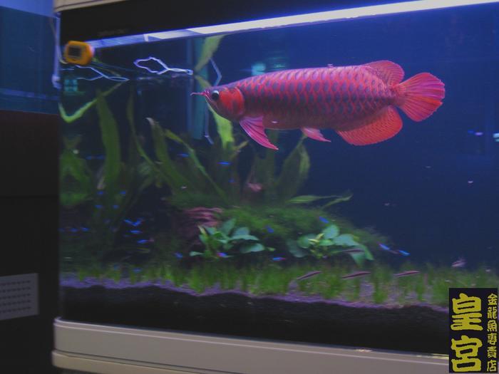 Arowana Fish Tank